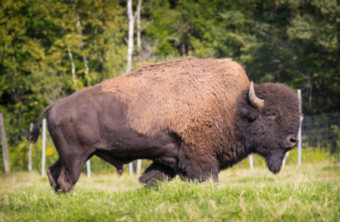 Image de la catégorie Viandes de Bison